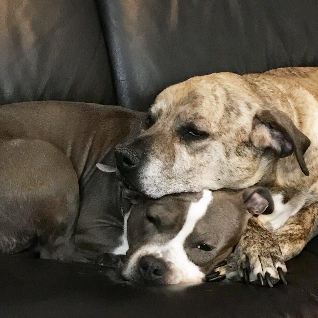 pitbulls cuddling