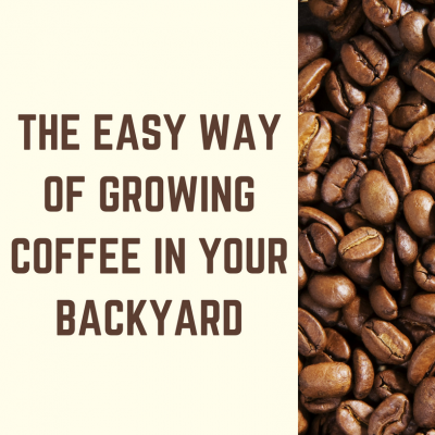 The Easy Way of Growing Coffee in Your Backyard